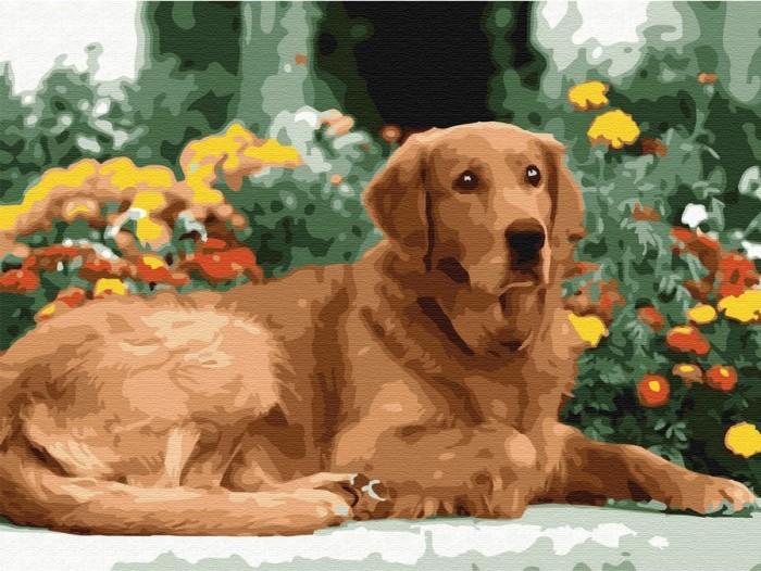 Купить Картины по номерам, Molly Картина по номерам с цветной схемой на холсте Золотистый ретривер 40х30 см