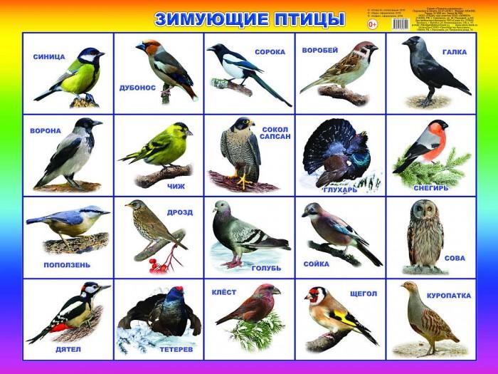Обучающие плакаты Алфея Плакат Зимующие птицы domestic birds домашние птицы плакат isbn 978 5 4315 0955 1