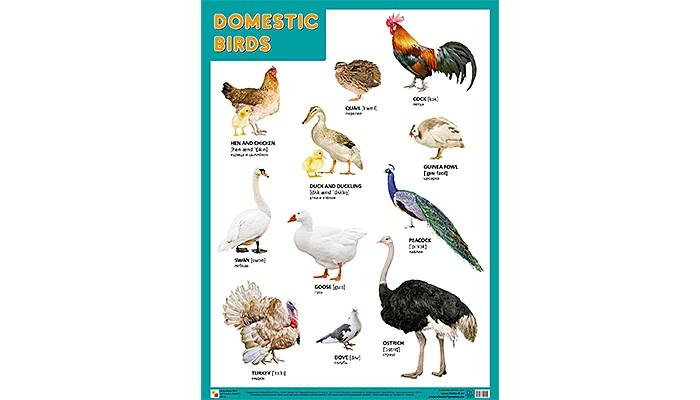 Обучающие плакаты Мозаика-Синтез Обучающий плакат DOMESTIC BIRDS Домашние птицы 45 х 60
