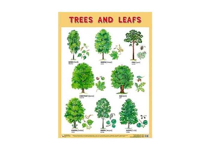 Обучающие плакаты Мозаика-Синтез Обучающий плакат на английском языке Trees and Leafs Деревья и листья обучающие плакаты мозаика синтез плакаты на английском языке сrockery and cookware посуда
