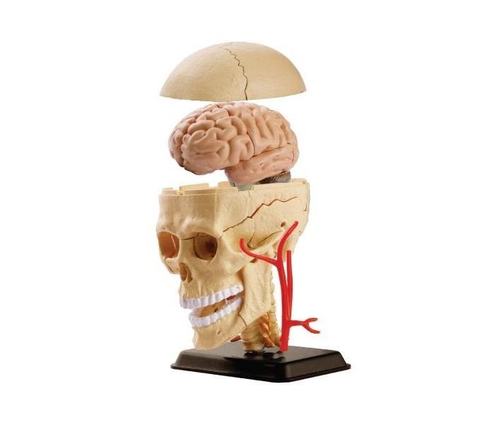Наборы для творчества Edu-Toys Анатомический набор череп игрушки для ванны tolo toys набор ведерок квадратные