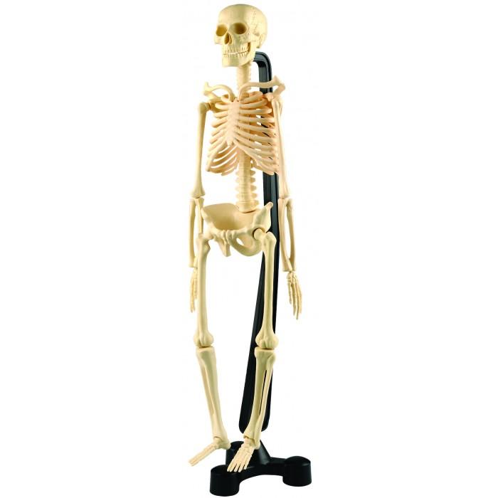 Творчество и хобби , Наборы для творчества Edu-Toys Модель человеческого скелета арт: 399269 -  Наборы для творчества