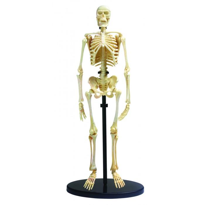 Edu-Toys Анатомический набор SK057