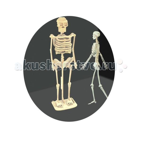 Конструкторы Мир деревянных игрушек (МДИ) Сборная модель Скелет человека конструкторы eastcolight сборная модель science time скелет стегозавра