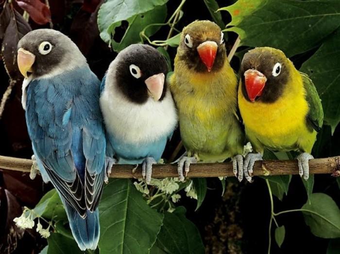 Раскраски Color Kit по номерам на картоне Волнистые попугайчики