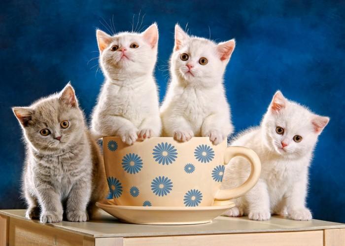 Пазлы Castorland Пазл Четыре котенка 500 элементов бесплатно бенгальского котенка на сахалине